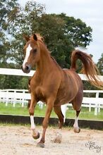 Arabian Mare Burpengary Caboolture Area Preview