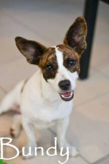 BUNDY FOXY X 10 MONTHS OLD MALE Kirwan Townsville Surrounds Preview