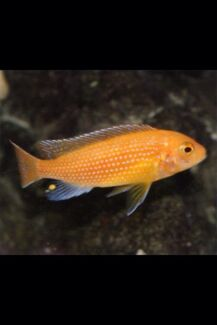 Red zebra cichlid  Liverpool Liverpool Area Preview