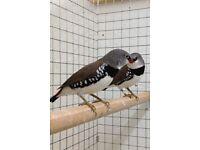Diamond firetail finches