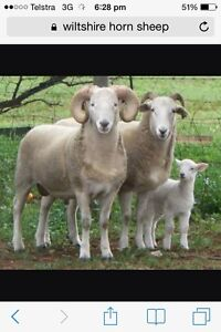 Looking for wiltshire lamb Jennings Tenterfield Area Preview