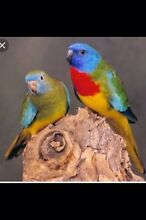 Scarlett chested parrots $50 each Hillman Rockingham Area Preview