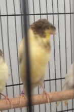 baby canaries Villawood Bankstown Area Preview