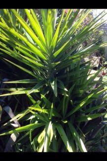 XX Large to Small YUCCA plants in pots Ingleburn Campbelltown Area Preview