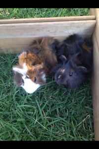 Two beautiful baby guinea pigs for sale Beaudesert Ipswich South Preview