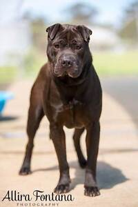 CRITICAL DEXTER SHARPEI X IS ON DEATHROW Mulgrave Hawkesbury Area Preview