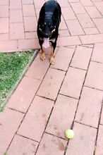 FREE DOG TO GOOD HOME Dingley Village Kingston Area Preview