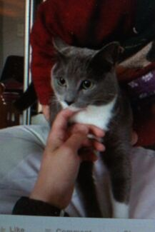 Russian Blue X Free to good home Glenmore Park Penrith Area Preview