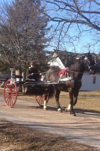 BLACK PERCHERON RIDING/DRIVING CROSS BRED GELDING***