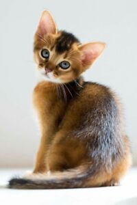 Wanting Savannah or Bengal or Abyssinian female kittens.