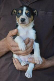 Border Collie x Working Dogs Kaimkillenbun Dalby Area Preview