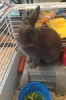 Grey male Rex rabbit for sale