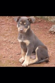 WANTED Kelpie pup  Balga Stirling Area Preview