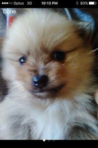 Pomerania puppy want Marks Point Lake Macquarie Area Preview
