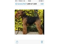 Welsh Terrier puppies for sale KC registered