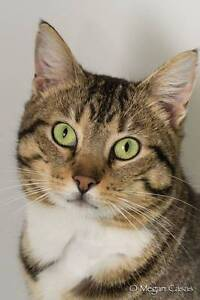 AC0484 : Rio - CAT for ADOPTION - Vet Work Included Thornlie Gosnells Area Preview