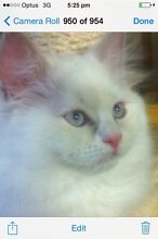 PRETTY PURE RAGDOLL GIRL ready now Meldale Caboolture Area Preview