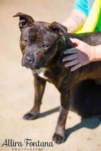 CRITICAL BEAU IS ON DEATHROW NEEDS OUT ASAP Mulgrave Hawkesbury Area Preview