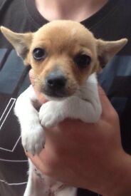 Chihuahua cross jack Puppys 3 girls £300 an 1 boy £250 micros chipped wormed and fleaed