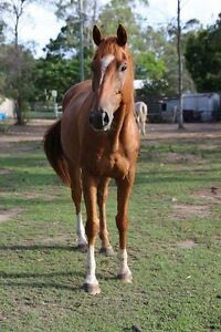 Unraced 7yr old 15.3hh Chestnut TB Gelding Bridgeman Downs Brisbane North East Preview
