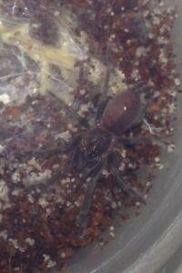 Tarantula slings Morley Bayswater Area Preview