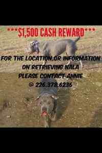 PITBULLS/AMERICAN BULLDOG TYPE DOGS ARE GETTING DOG NAPPED