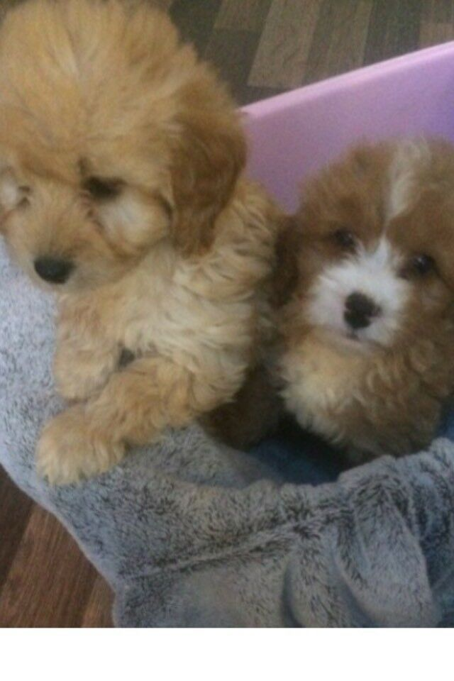 FOX RED & APRICOT TOY COCKAPOO PUPPIES FOR SALE (ready now) | in Swanley,  Kent | Gumtree
