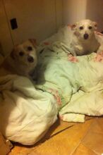 2 Jack Russell X free to good home Pooraka Salisbury Area Preview