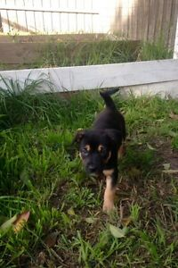 3/4 Kelpie 1/4 Border Collie Vermont Whitehorse Area Preview