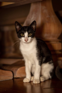 AK3328 : Boris - KITTEN for ADOPTION - Vet Work Included