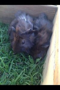 Two adorable baby guinea pigs for sale. Beaudesert Ipswich South Preview