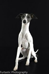 WANTED ~ Italian greyhound Davoren Park Playford Area Preview