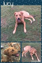 FREE GERMAN SHEPHERD x MASTIFF PUPPY FEMALE BRISBANE SOUTH Forestdale Logan Area Preview