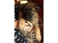 GORGEOUS GERMAN SHEPHERD PUPPIES FOR SALE- READY NOW- ONE BOY LEFT