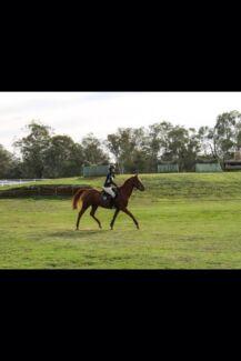 Arabian warmblood for sale Orange Grove Gosnells Area Preview