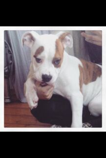 Aussie Bulldog for sale - Malibu 11months $500 Brighton-le-sands Rockdale Area Preview