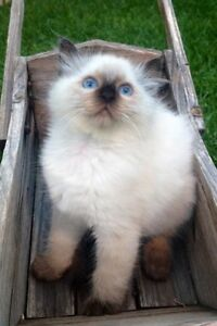 Ragdoll kitten Glendenning Blacktown Area Preview