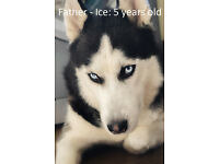 Staff x Husky pups for sale