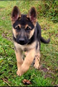 Looking for Baby German sheppard