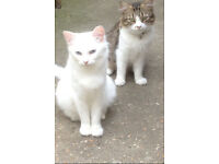 MY BOTH CATS MISSING FROM MANOR PARK, CARLYLE ROAD E12