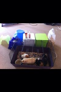 FULL guinea pig setup with 3 males everything you need Robina Gold Coast South Preview