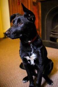 A home for Archie. Regretful re-homing for an awesome companion. Fitzroy Yarra Area Preview