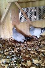 British Show Racer Pigeons Wilmot Kentish Area Preview