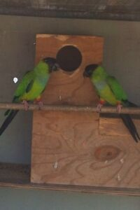 BREEDING PAIR NANDAY CONURES Belmont Lake Macquarie Area Preview