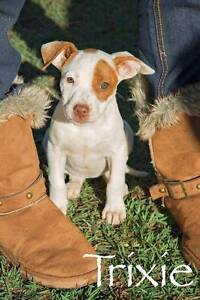 TRIXIE, Bull Terrier x, 8 weeks old, Female Kirwan Townsville Surrounds Preview