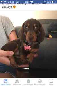 Wanting to buy Dashund puppies or German Shepard puppies Medowie Port Stephens Area Preview