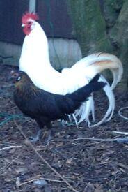 yokahoma phoenix chicken