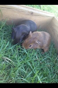 Two cute baby guinea pigs for sale Beaudesert Ipswich South Preview