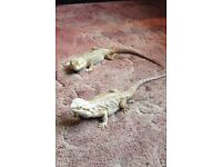 Two bearded dragons and tank