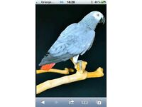 Escaped African Grey 10 yr old parrot